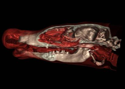 A 3-D scan of this aardvark revealed that a hole from a missing tooth was draini